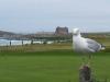 Gulls, die grossen Möwen und ständigen Begleiter.